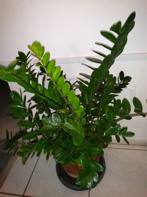 Lovely Plant for Sale in Fort Lauderdale, FL