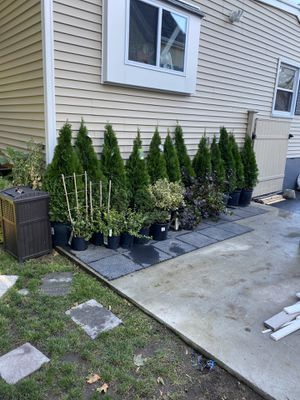 Evergreens 🌲 for Sale in Brockton, MA