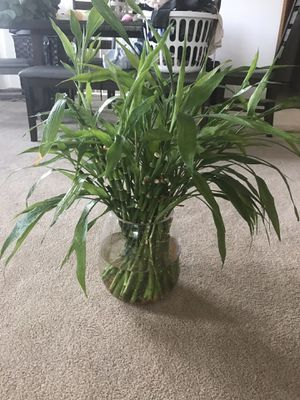 Lucky bamboo plants with a huge glass vase for Sale in Tacoma, WA