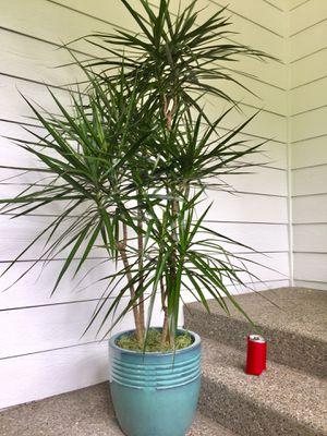 Real Indoor Houseplant - Dracaena Dragon Plant Trees in Ceramic Planter Pot for Sale in Auburn, WA