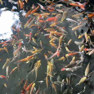 Fish Tank Koi for Sale in SeaTac, WA