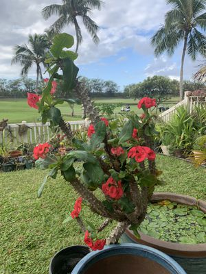 Euphorbia Milii Plant for Sale in Kapolei, HI