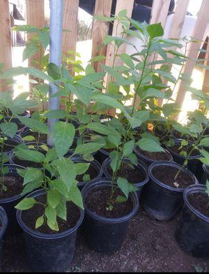 Chili Chiltepin Plants $6 Each for Sale in Avondale, AZ