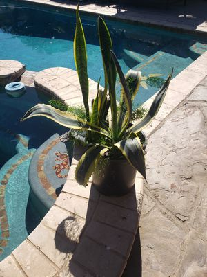 Agave succulents for Sale in Downey, CA