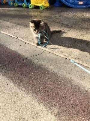 Cat for Sale in El Cajon, CA