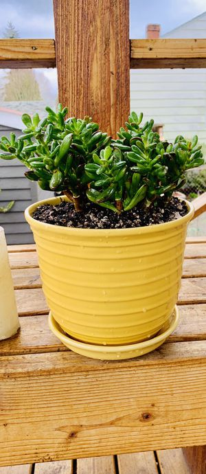 Live indoor Finger Jade house plant in a textured ceramic planter flower pot with attached base—firm price for Sale in Seattle, WA