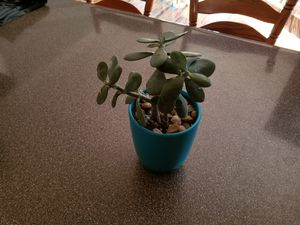 Succulents for Sale in Lockbourne, OH