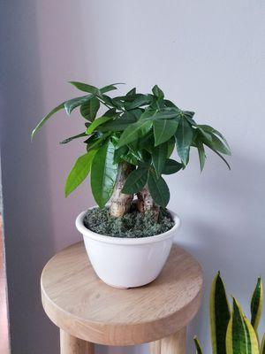 Monet tree bonsai for Sale in Pembroke Park, FL