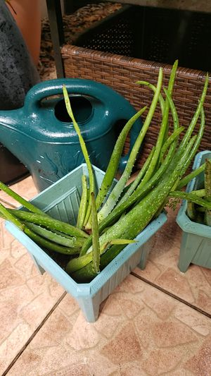 Aloe Vera Sabila plant for Sale in Davie, FL