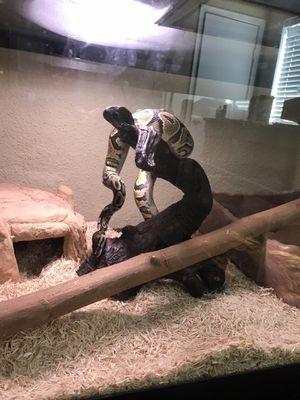 Snake decor for Sale in Houston, TX