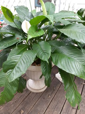 House PLANTS ~Beautiful for Sale in Hermitage, TN