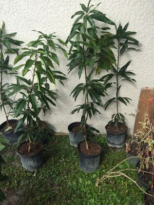 Grafted mango / mango injertado for Sale in Fort Myers, FL