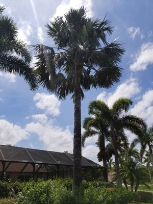 Healthy palm tree for Sale in West Palm Beach, FL