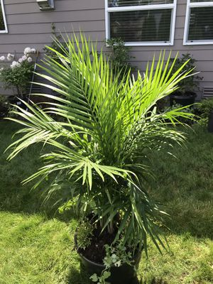 Excellent majesty palms for Sale in Renton, WA