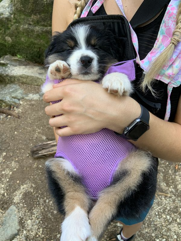 Puppy or small dog harness