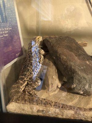 Bearded Dragon with terrarium for Sale in Auburn, WA