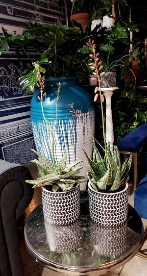 Hybrid aloe with flower spike (SET OF 2) for Sale in Chicago, IL