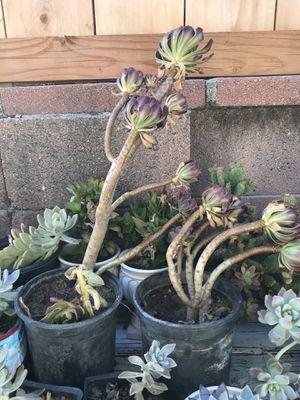 Beautiful succulent for Sale in Garden Grove, CA