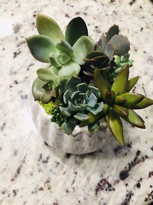 Real succulent arrangement plants flowers home decor pot planter for Sale in Miami Gardens, FL