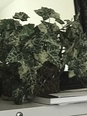 Fake ivy plant for Sale in Bakersfield, CA