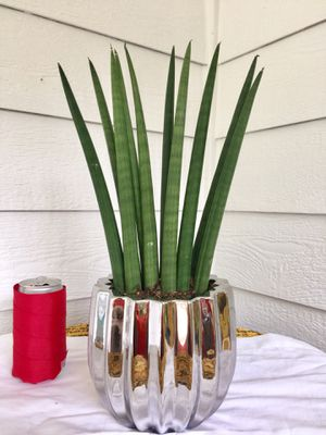 Real Indoor Houseplant - Cylindrica Sansevieria Plants (Snake Plant Family) in Silver Ceramic Planter Pot for Sale in Auburn, WA