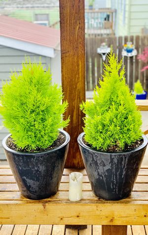 Price is for pair—Live outdoor Lemon Cypress plant trees in a ceramic planter pot—firm price for Sale in Seattle, WA