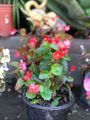 Begonia for Sale in East Los Angeles, CA