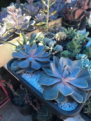 Succulent for Sale in West Covina, CA