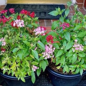 2 MEDIUM SIZED POTS OF EGYPTIAN STAR CLUSTERS MULTI-COLOR TAKE BOTH POTS FOR $15 NO HOLDS for Sale in McKinney, TX