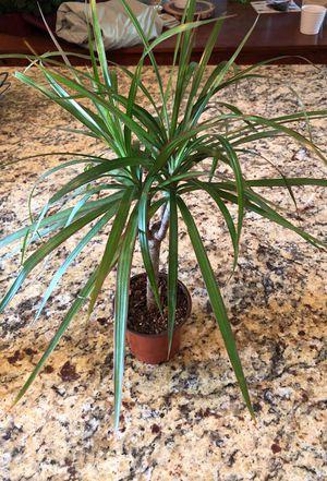 House Plants! Different varieties for Sale in Tempe, AZ