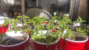 Heirloom Tomato Plants for Sale in Mission Viejo, CA