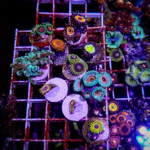 zoa coral frag pack for Sale in Miami, FL