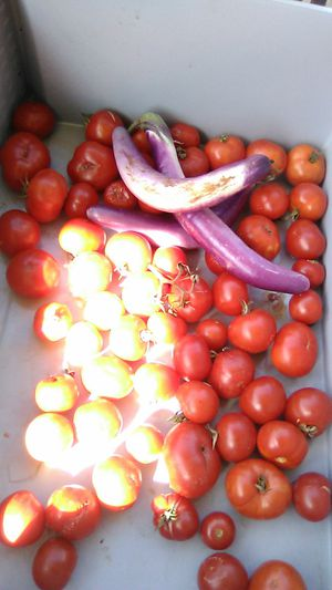 Home grow tomatoes 45 cents per lb for Sale in Anaheim, CA