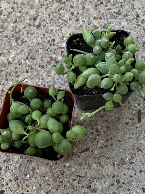 String of pearls/ string of raindrops/ succulent/ plant for Sale in Houston, TX