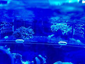 Aguarium. Saltwater Rainbow Anemonecoral40$ for Sale in Los Angeles, CA