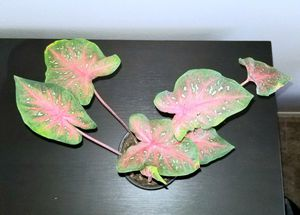 Caladium Plant for Sale in Columbus, OH