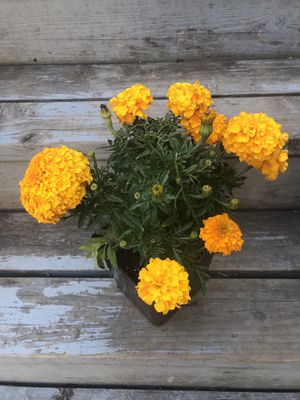 Marigolds for Sale in Stanwood, WA