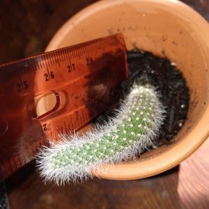 The Real monkey tail cactus plant potted for Sale in Jensen Beach, FL