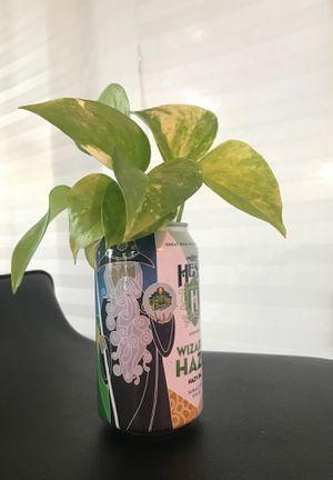 Plants, Pothos for Sale in Castro Valley, CA