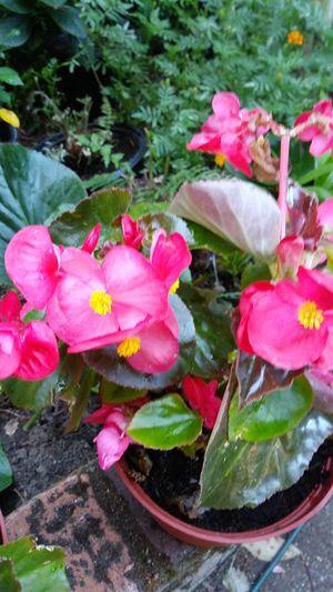 LIVE Blooming Begonias for Sale in Orangevale, CA