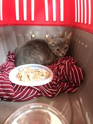 Kitten need gone today for Sale in Costa Mesa, CA