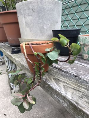 Live plant for Sale in Chicago, IL