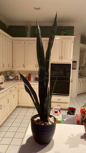 Black Coral Sansevieria in 6 in charcoal ceramic pot for Sale in Arlington, TX