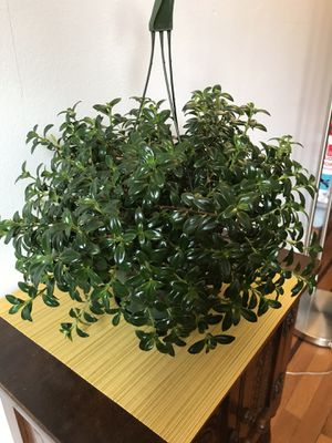 Plants for Sale: Goldfish Plant for Sale in Queens, NY