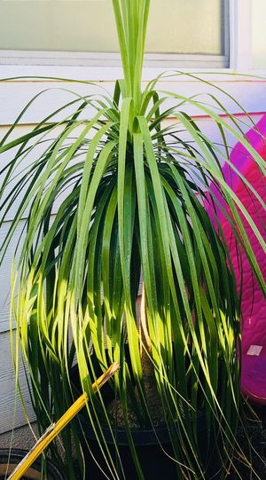🌱Bonsai Ponytail Palm~ for Sale in Kapolei, HI