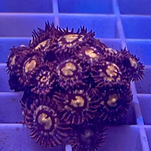 Pink Zoanthid Coral Frag for Sale in San Dimas, CA