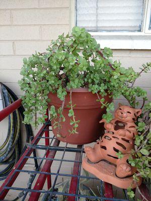 Succulent Plant for Sale in Glendale, AZ