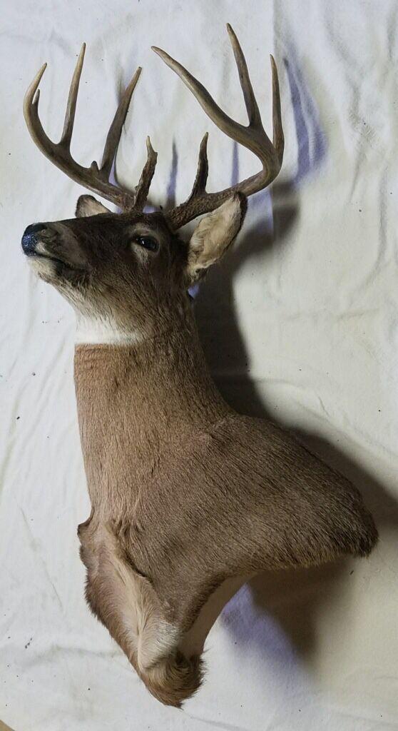 9 Pt Iowa Whitetail Mount