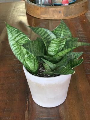Birdnest snake plant in a terracota pot for Sale in Bothell, WA