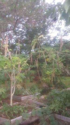 Free moringa oleifera seeds! for Sale in Orange City, FL